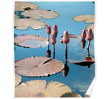 Water Reflecting Lily Pods Poster