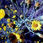 Desert Dandelion by Chris Gudger