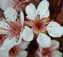 PLUM TREE BLOSSOMS by DRON