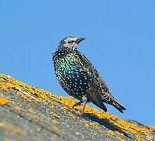 Starling by Kawka