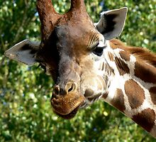 giraffe by AngelaFoster