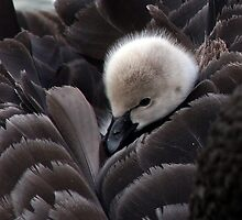 Black Swan Cygnet by Dave Law