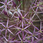 Allium by christiane