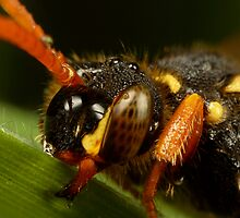 Nomada Bee close up by alliec