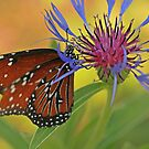 Cornflower with Queen by Adam Bykowski