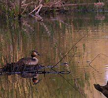 Nesting Great Crested Grebe by Neil Bygrave (NATURELENS)