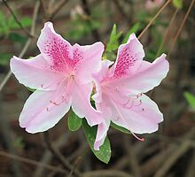 Azalea 4 by William Helms