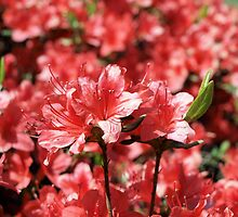 Azalea 3 by William Helms