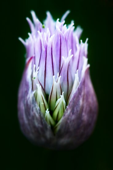 Chive Blossom by James Even