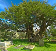 Ancient Yew Tree by John Hooton