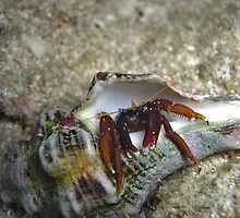 Wile E. Hermit Crab by Michael Powell