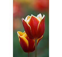 Tulip Photographic Print