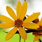 Texas Wildflower Yellow by Swede