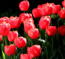 Red Tulips by IndyLady