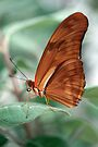 Dryas Iulia by Kimberly Palmer