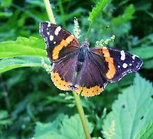 Red Admiral Butterfly by Deborah Duvall