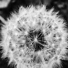 Dandelion by Joakim