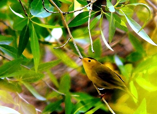 Wilson's Warbler - Splash of Color by Ryan Houston
