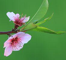 A Simple Peach Blossom by Chris Coates