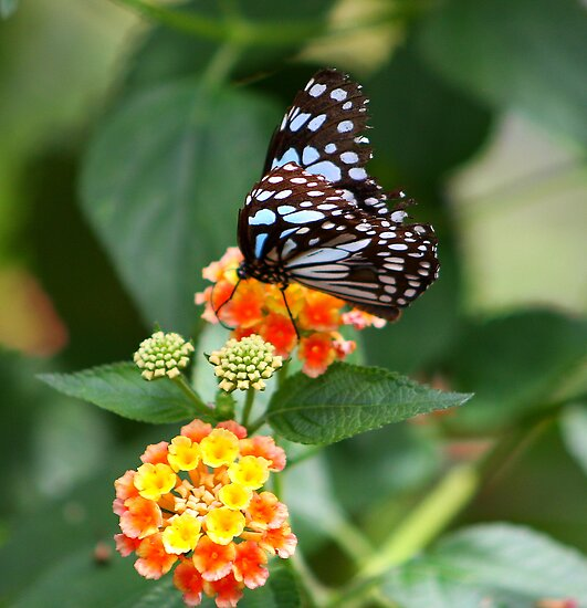 Blue Glassy Tiger (Butterfly) by jdmphotography