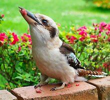 Kookaburra who visits my garden. by Bev Pascoe