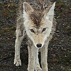 Coyote by Debbie Bryant