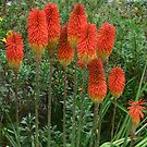 Red Hot Poker !!! by Heabar