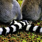 Lemur Tails by Alison Cornford-Matheson