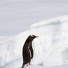 Gentoo on Ice by Simon Coates