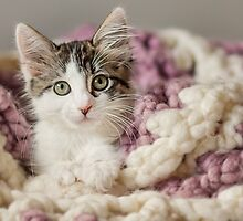 Kitten in Blanket by Another Chance Animal Welfare League