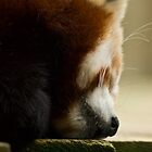 Red Panda  by Samantha Coe