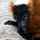 Red Ruff Lemur  by Samantha Coe