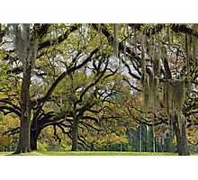 Oaks of St. Francisville Photographic Print