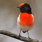 Red-capped Robin (male) by David Cook