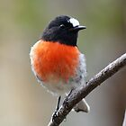Scarlet Robin (male) by David Cook