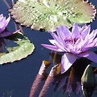 water lilly by Mayware