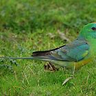 Red Rump Parrot by KeepsakesPhotography Michael Rowley