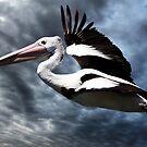 Pelican in Flight by Christopher Meder