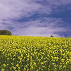 oil seed rape by Tony Dewey