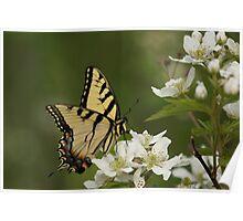 Tiger Swallowtail 2 Poster