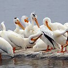 Preening Pelicans by Bill Morgenstern