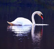 Mirrored swan by Helen White