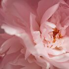 Soft Pink Petals by elm321