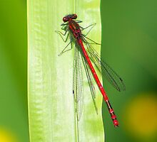 Damsel Red by jdmphotography