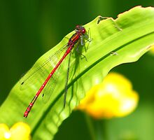 Damsel Red 2 by jdmphotography