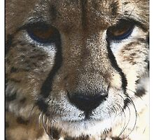Cheetah 1 by Wilma
