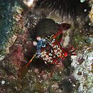 Maeda Point Mantis Shrimp by Michael Powell