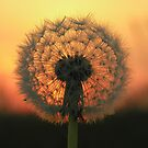 Dandelion Sunset by Angela Harburn
