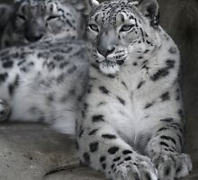 Snow Leopards by Graham Jones
