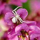 Pink and White Crab Spider by Geoffrey